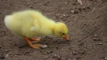 Girl hatched a Waitrose egg and now has a pet duck