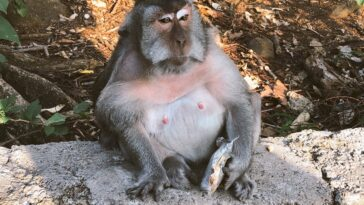 Monkey is very obese after being fed junk food