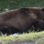 A man is attacked by a bear in Alaska and remains in surgery for more than four hours