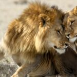 Lions are among the most sexually active animals in the animal kingdom