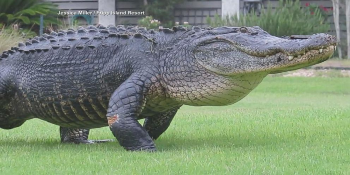 An 8-foot alligator was euthanized after it critically injured a woman