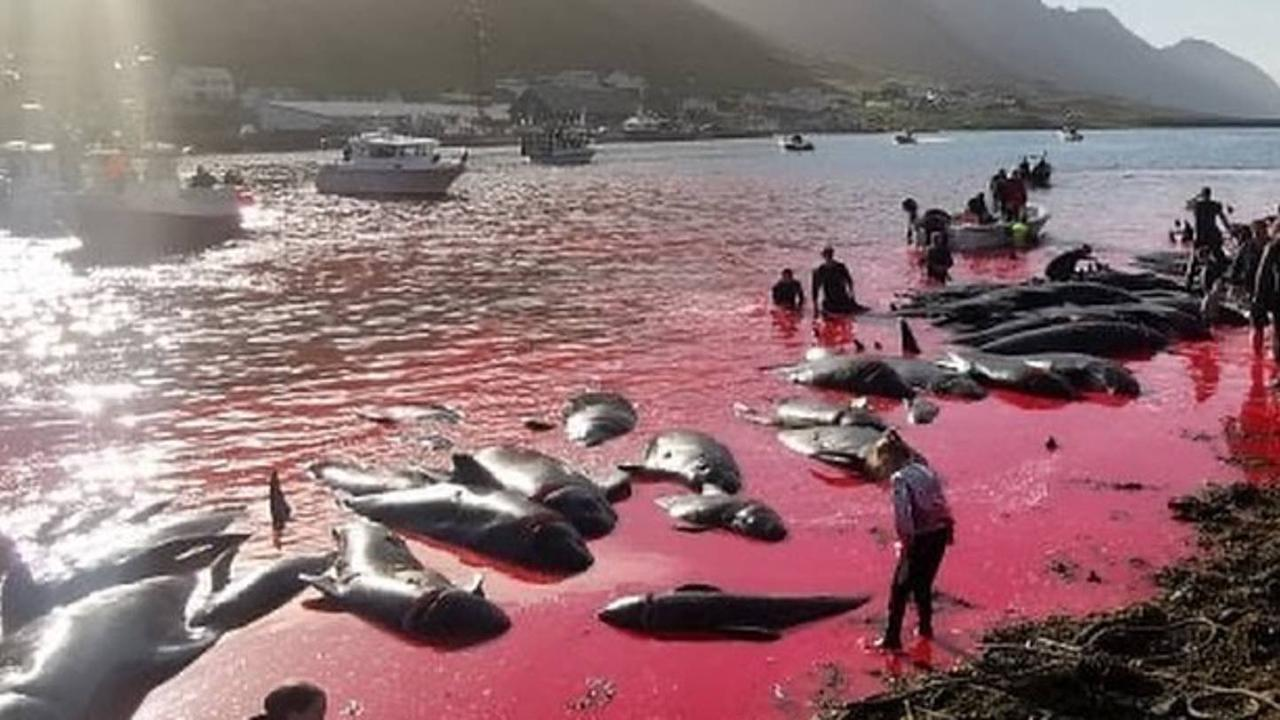 The Faroe Islands have cruelly slaughtered 131 whales in the last 24 hours
