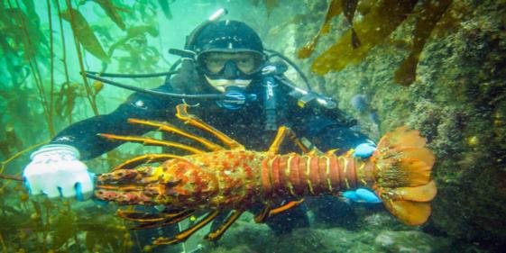 California Lobster