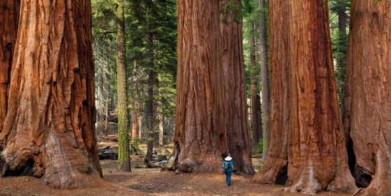 """The tree once thought to be """"indestructible"""" is dying because of the climate crisis"""