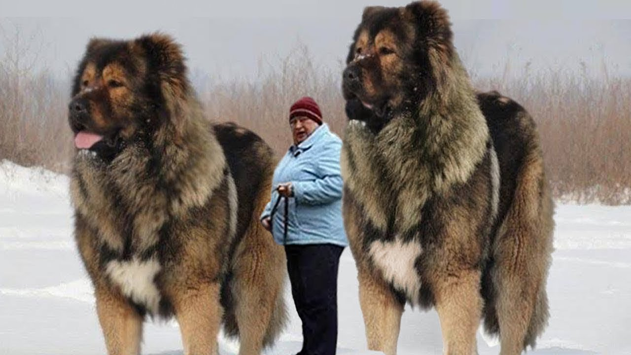 Meet the 10 largest dogs in the world
