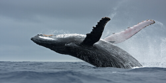 Whales are the largest animals in the seas and oceans