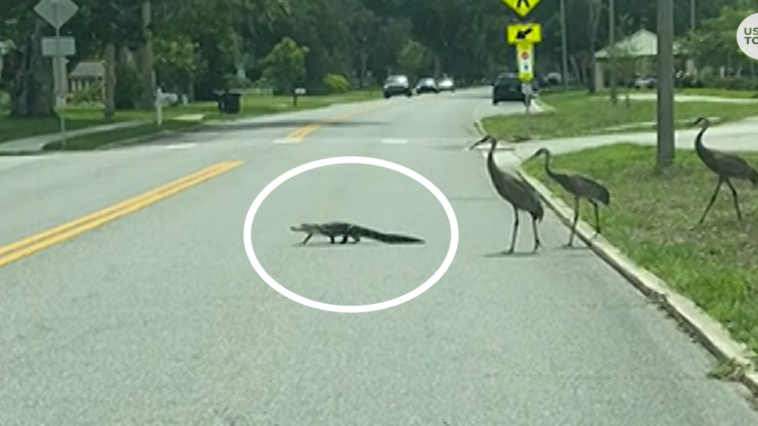 An alligator crosses the road while being chased by three cranes
