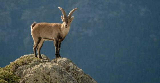 Goats are not crazy but defy death on cliffs