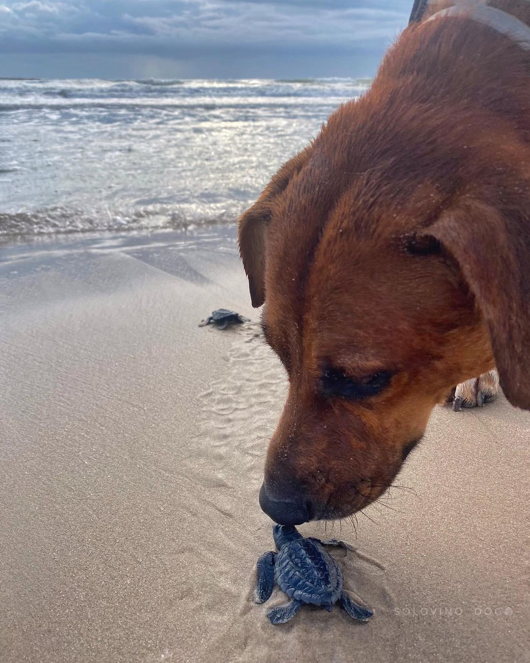 Meet the dog that helps turtle hatchlings reach the sea