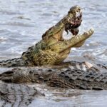 The crocodile is the lung-breathing animal that can last the longest underwater