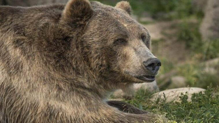 A bear that pulled a California woman out of her tent and killed her was shot and killed