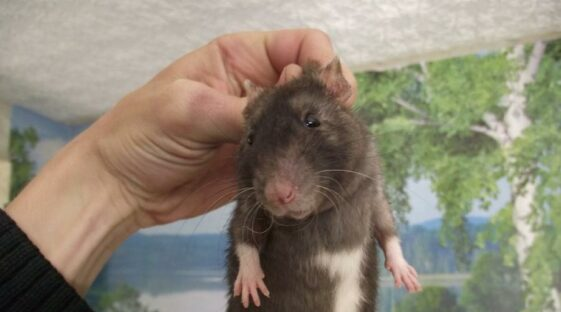 House mice are thrown away like garbage