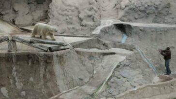 Arturo the polar bear: the saddest animal in the world