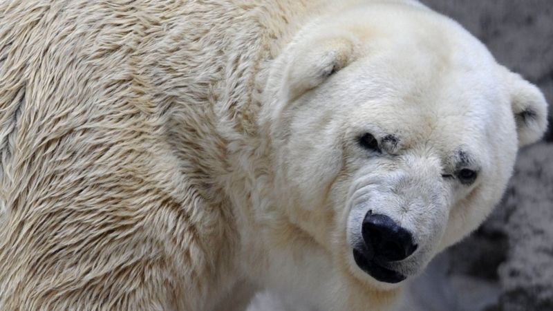 In recent years, Arturo the polar bear had attracted the attention of half the world for the conditions in which he lived in a zoo in the Argentine city of Mendoza.