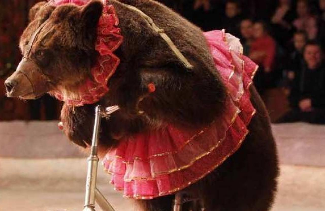 Circus bear lunges at its trainer in the middle of a children's show
