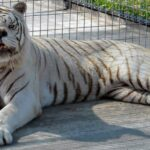 Kenny, the white tiger with Down's Syndrome