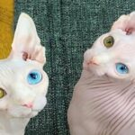 Sphinx cat: a medium-sized but well-muscled breed