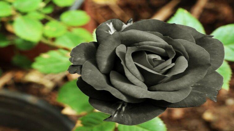 Turkey black roses are also known as Halfeti roses