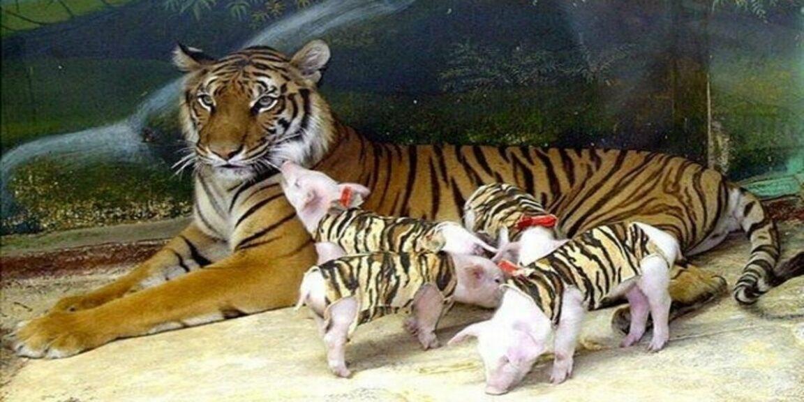 After losing cubs tigress adopts piglets