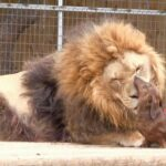 The curious friendship between a huge lion and a dachshund