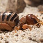 Jeresulen crickets: baby-faced crickets