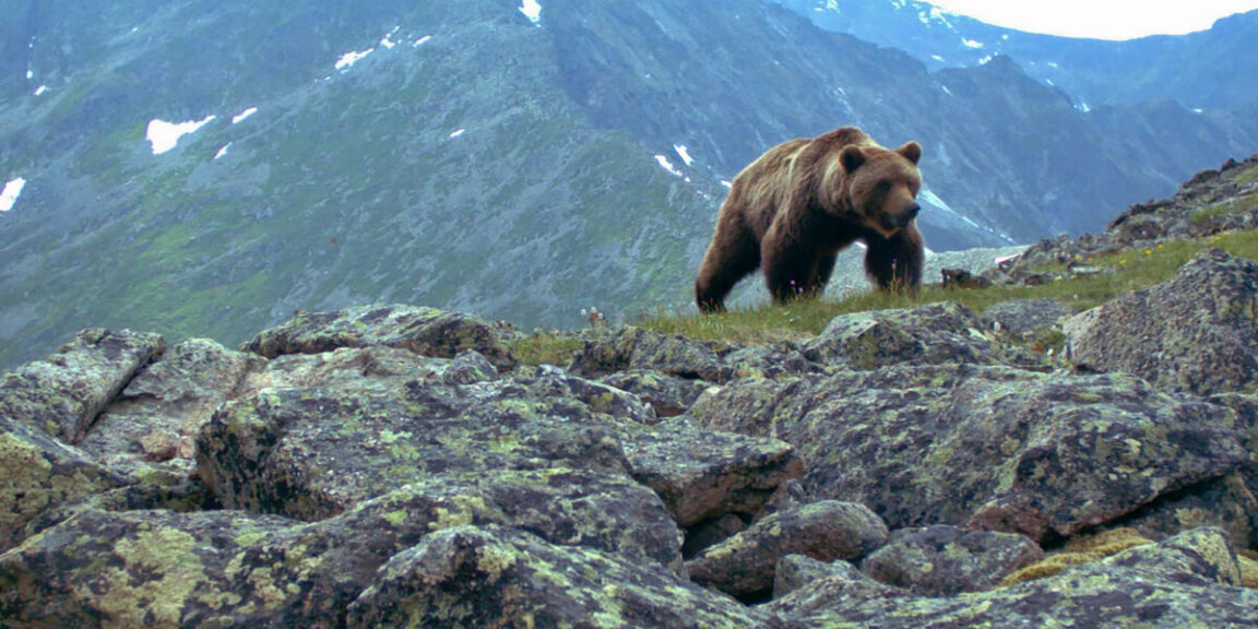 A grizzly bear attacked a group of campers, eating one and forcing the others to flee