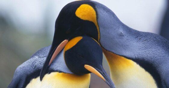 Penguins are the most faithful companions