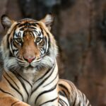 A female safari park worker died instantly after being attacked by a tiger