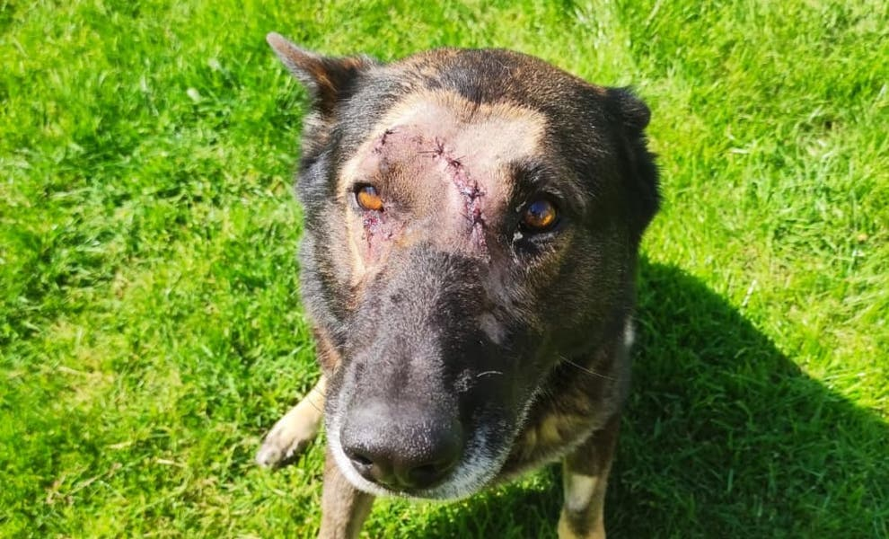 Police dog stabbed while apprehending a suspect