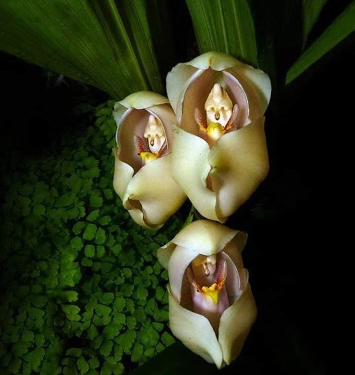 """The """"cradle of Venus"""" orchid, a beautiful and little-known flower"""