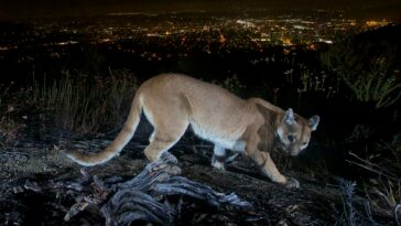 california-mother-saves-5-year-old-son-from-cougar-attack-using-her-bare-hands