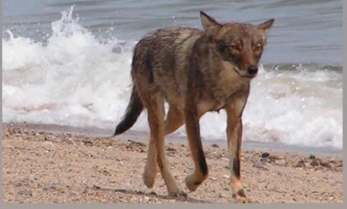 Coyote killed after attacking 3-year-old girl on Cape Cod beach