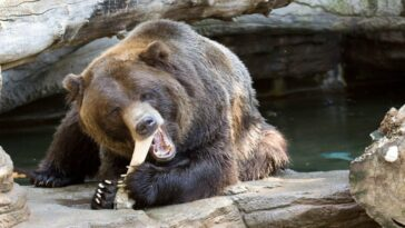 A woman who went missing during a wedding celebration was killed and eaten by wild bears