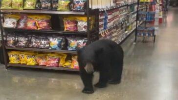 Huge bear filmed strolling through a grocery store in the U.S