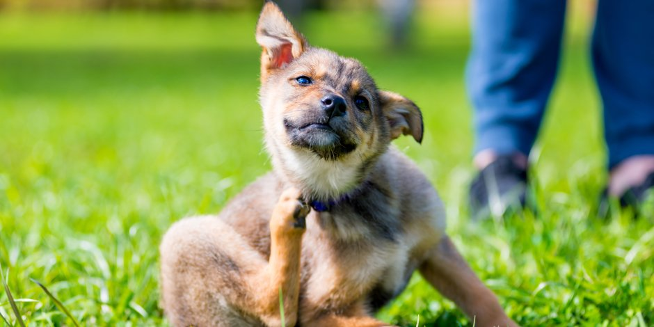 Scabies in dogs: How do I know if my dog has scabies?