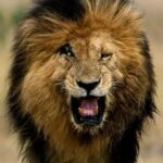 Scarface, the world's most famous lion, dies