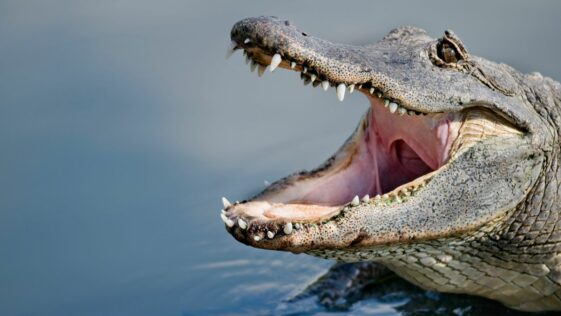 Louisiana man loses arm, likely killed in alligator attack in Ida floodwaters