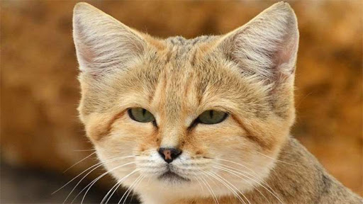 This is the desert cat, the most lethal and difficult to observe feline on Earth
