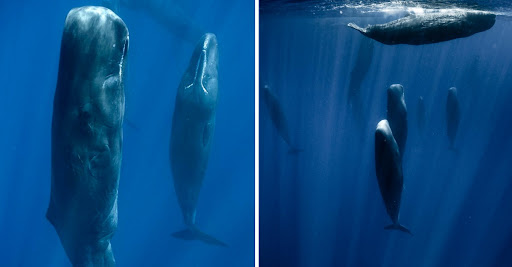 Why are these sperm whales upright?