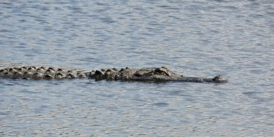 Alligator assault on girl ends after neighbor hits creature with shovel