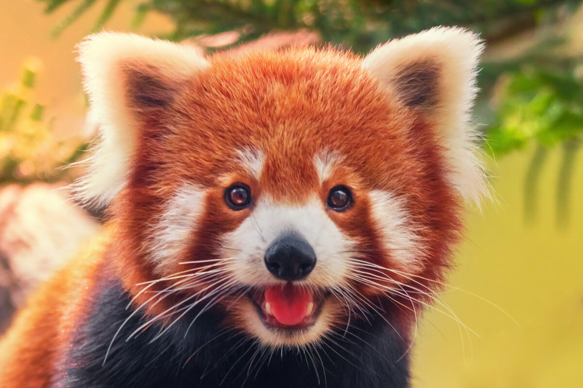 The red panda is a shy and solitary animal