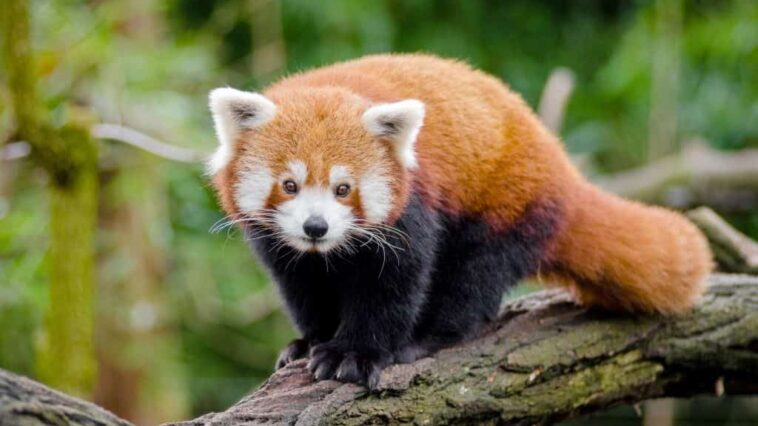 The red panda: is a shy and solitary animal