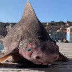 """The sailors """"freaked out"""" after finding an animal with the body of a shark and the face of a pig"""