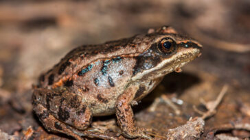 The wood frog: does it freeze to survive?