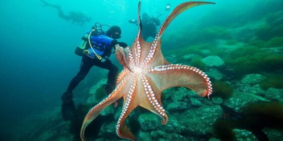 Giant Pacific octopus: the largest octopus species