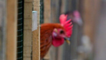 In Austria a rooster is sentenced on appeal for his crowing