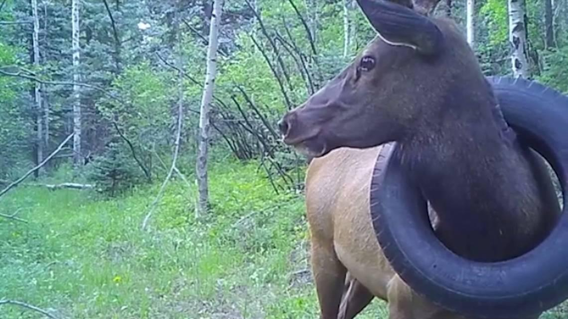 For two years, an elk has lived with a tire around its neck in Colorado