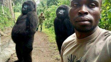 ndakasi selfie gorilla